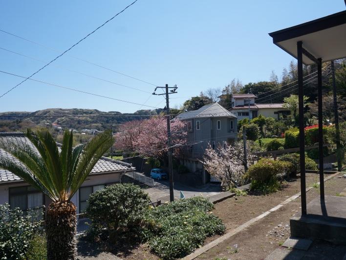 山桜にヤシの木。これぞ南葉山って感じ。素晴らしい!