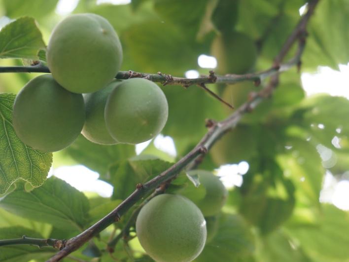 庭の梅の実。来年、収穫して梅しごとしなきゃですね!