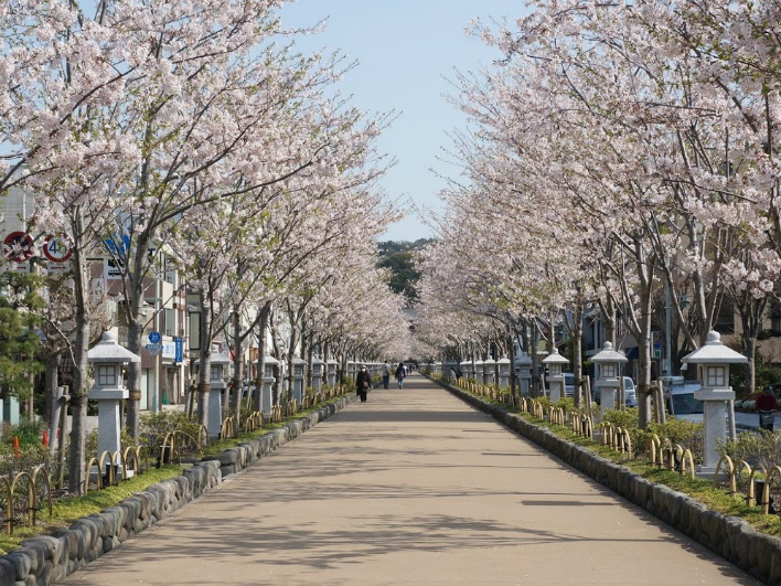 春。桜の時期は、家から駅までは若宮大路を歩く。観光客がいない早朝の花見はローカルの特権。